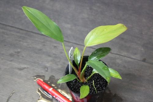 ホメロメナsp.スカダウ 東海 岐阜 熱帯魚 水草 観葉植物販売 Grow aquarium