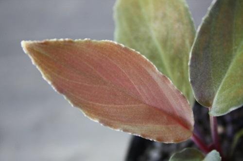 ホメロメナsp.ブラックベルベット東海 岐阜 熱帯魚 水草 観葉植物販売 Grow aquarium