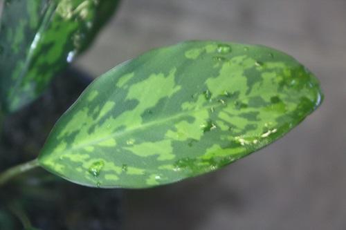 ピプトスパタ リドレイ 東海 岐阜 熱帯魚 水草 観葉植物販売 Grow aquarium