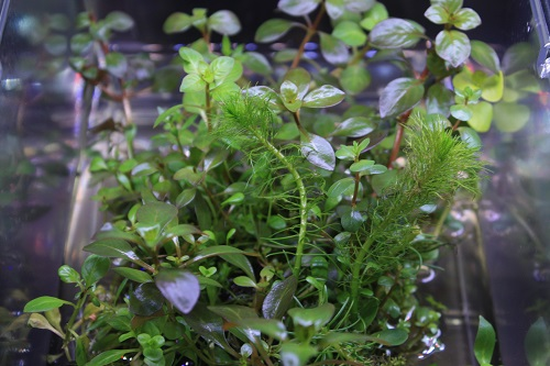 侘び草かれん東海 岐阜 熱帯魚 水草 観葉植物販売 Grow aquarium