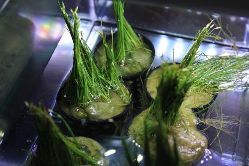 ショートヘアーグラス 東海 岐阜 熱帯魚 水草 観葉植物販売 Grow aquarium