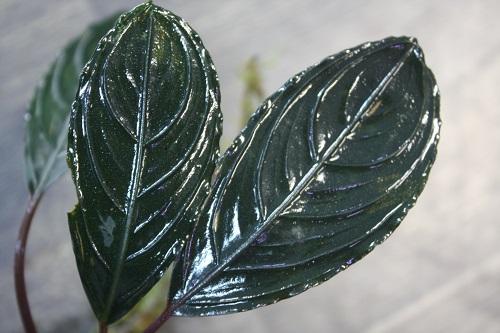 ブセファランドラsp.アキレスⅡ 東海 岐阜 熱帯魚 水草 観葉植物販売 Grow aquarium