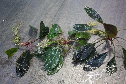 ブセファランドラsp.アキレスⅡ ライトカラー 東海 岐阜 熱帯魚 水草 観葉植物販売 Grow aquarium