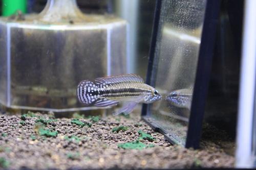 アピストグラマsp.ミウア リオミウア 東海 岐阜 熱帯魚 水草 観葉植物販売 Grow aquarium