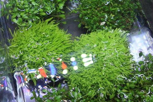 侘び草ウォーターローン 東海 岐阜 熱帯魚 水草 観葉植物販売 Grow aquarium