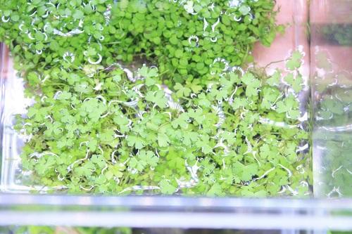 佗び草 オーストラリアン ドワーフ ヒドロコティレ 東海 岐阜 熱帯魚 水草 観葉植物販売 Grow aquarium