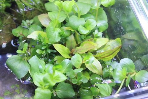 侘び草エキノ・クリプトMIX 東海 岐阜 熱帯魚 水草 観葉植物販売 Grow aquarium