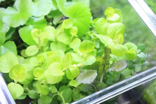 侘び草有茎草MIX 東海 岐阜 熱帯魚 水草 観葉植物販売 Grow aquarium
