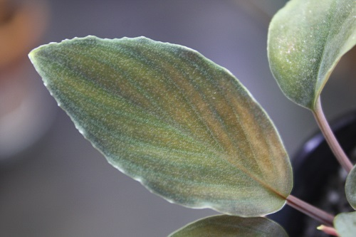 Homalomana sp.Black Velvet Lingga 東海 岐阜 熱帯魚 水草 観葉植物販売 Grow aquarium