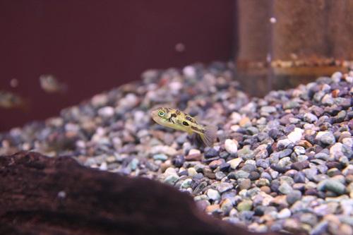 アベニーパファー 東海 岐阜 熱帯魚 水草 観葉植物販売 Grow aquarium