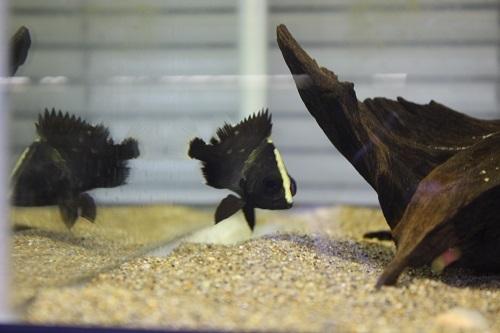 ニューギニア ダトニオ 東海 岐阜 熱帯魚 水草 観葉植物販売 Grow aquarium