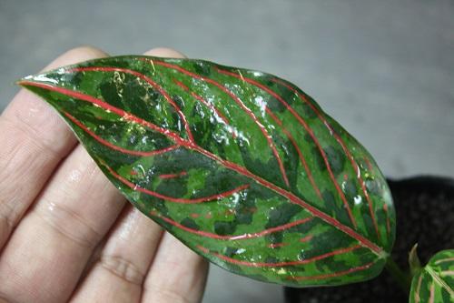 Aglaonema Rotundum×Tricolor 東海 岐阜 熱帯魚 水草 観葉植物販売 Grow aquarium