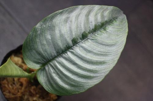 Schismatoglottis longispatha Paradoxa Borneo 東海 岐阜 熱帯魚 水草 観葉植物販売 Grow aquarium