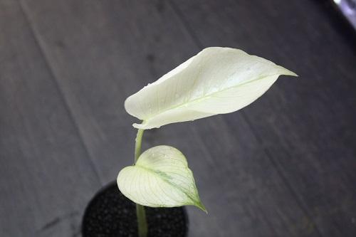 Monstera deliciosa White Monster子株 東海 岐阜 熱帯魚 水草 観葉植物販売 Grow aquarium