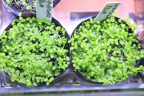ニューラージパールグラス 東海 岐阜 熱帯魚 水草 観葉植物販売 Grow aquarium