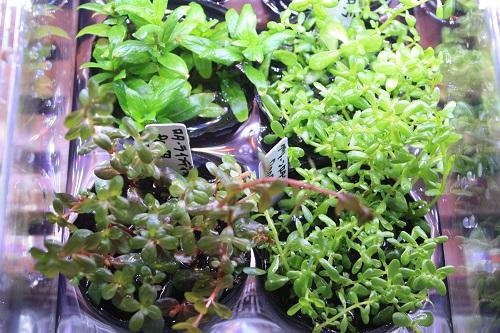 グリーンロターラ、ロターラインディカ 東海 岐阜 熱帯魚 水草 観葉植物販売 Grow aquarium