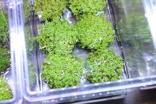 侘び草ニューラージパールグラス 東海 岐阜 熱帯魚 水草 観葉植物販売 Grow aquarium