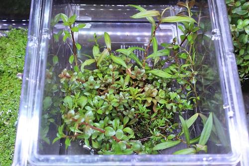 侘び草有茎草MIX赤系 東海 岐阜 熱帯魚 水草 観葉植物販売 Grow aquarium
