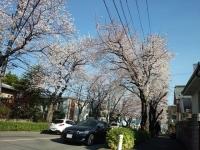 [四季] 桜