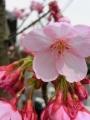 アリスト桜
