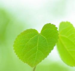 ★250新緑の葉