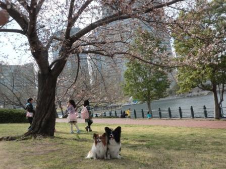 コピー ~ 桜の木の下で!