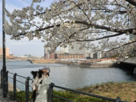 コピー ~ 満開の桜~♪