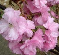 20140413桜 (3)