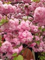 20140413桜 (13)