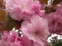 20140413桜 (6)