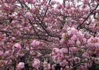 20140413桜 (1)