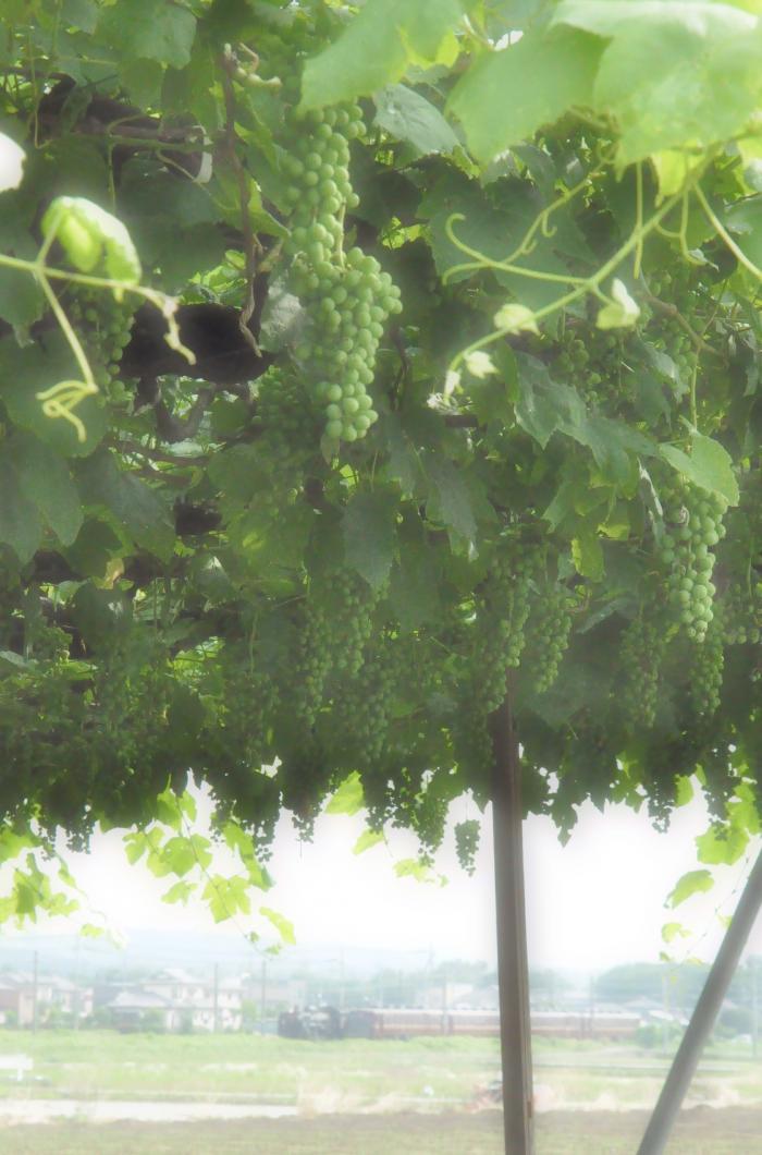 grape020_c.jpg