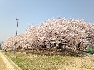 夙川さくらポタ 081
