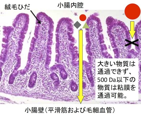 正常小腸の吸収
