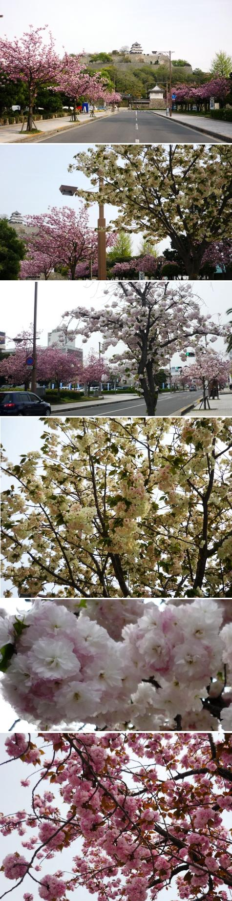 a八重桜P1300286