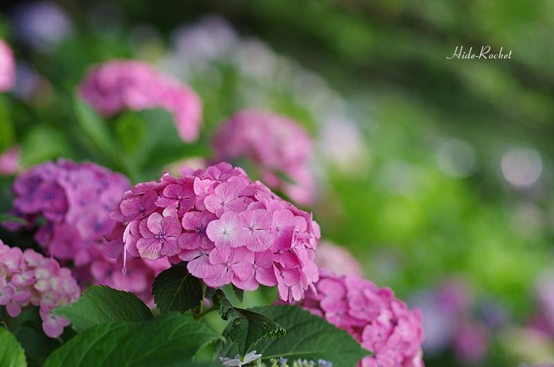 20140622_ajisai_17.jpg
