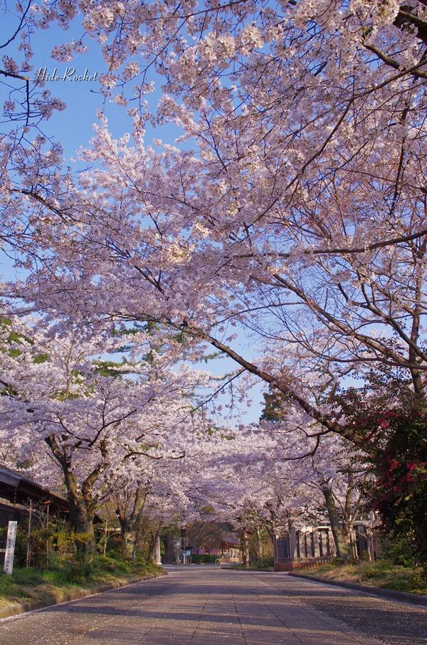 2014_sakura_02.jpg
