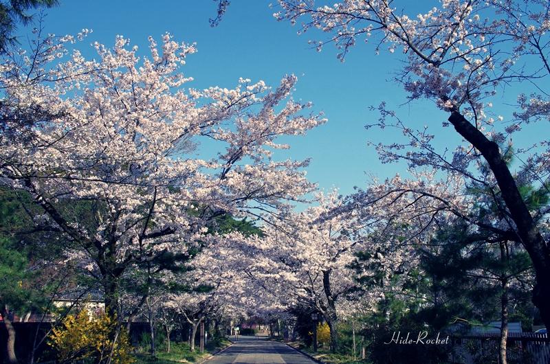 2014_sakura_04.jpg