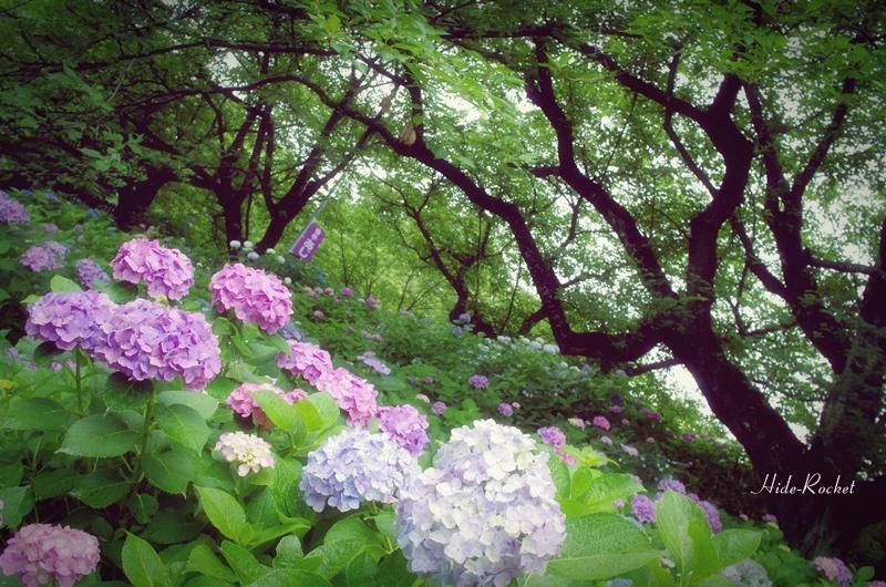 ajisai_k01_05.jpg