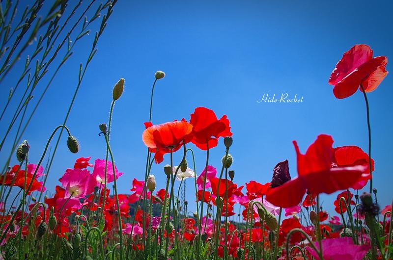 poppy_K01_21mm_04.jpg