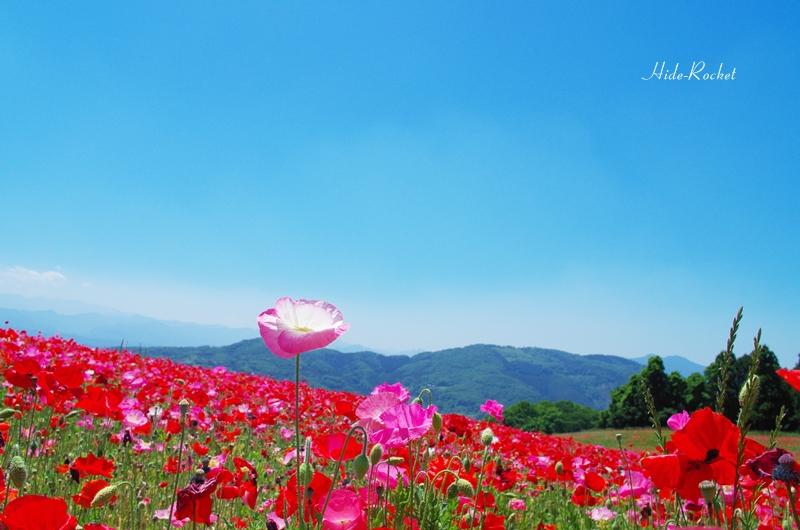 poppy_K01_21mm_05.jpg