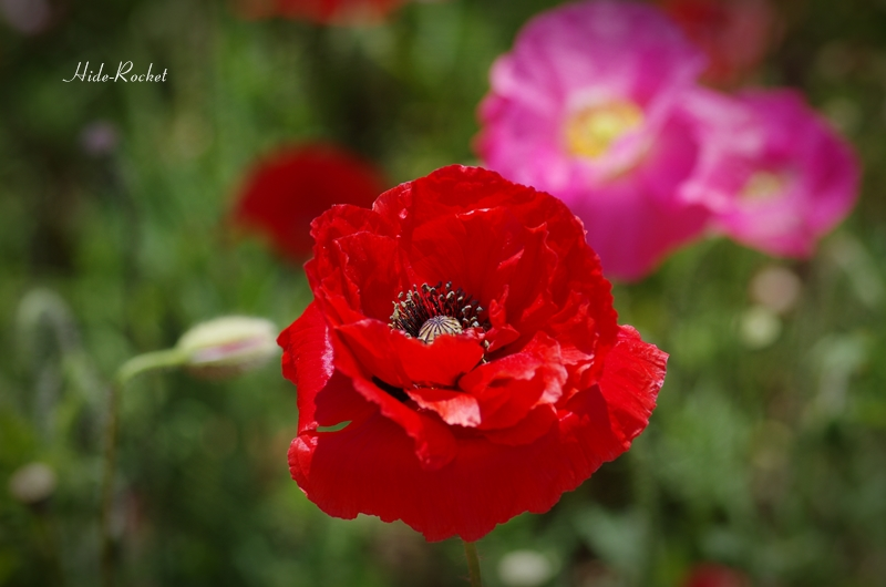 poppy_k5IIs_100mm_04_2014060621191197f.jpg
