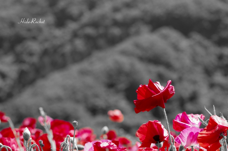 poppy_k5IIs_100mm_10.jpg