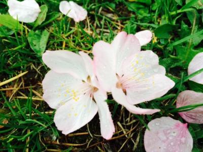 2014.5.16桜9