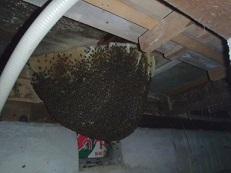 ミツバチの巣-1