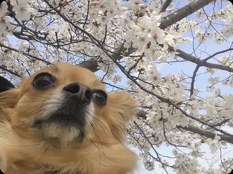 桜とチョロ太2