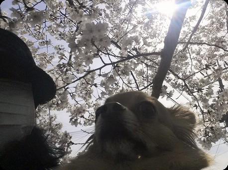 桜とチョロ太と逆光で‥