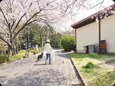 楽しかった日・桜の下