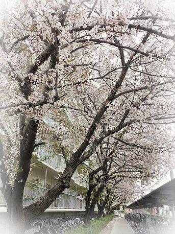 一か月前の桜