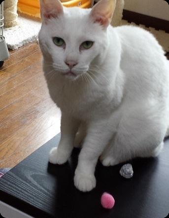 白猫さん1